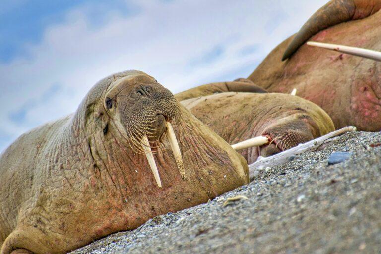 Resting Walrus, Arctic, Svalbard, Norway
